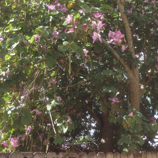 09 Orchid Tree