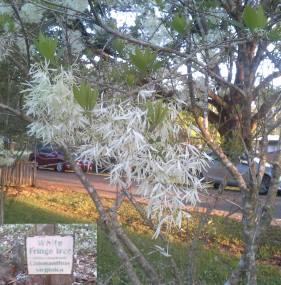 Fringe Tree 040118 Easter