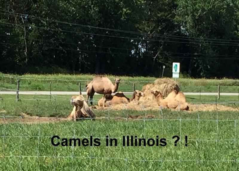 01 camels 0819 1