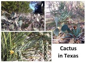 12 Cactus